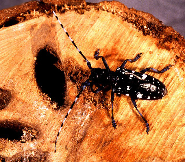 Asian beetles infestation