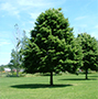 Linden Tree